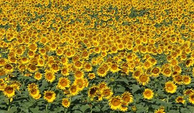 שדה חמניות  sunflowers  תמונות של שדות צילומים