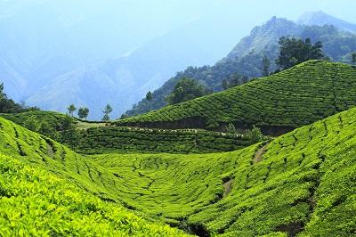 שדות תה הודושדות תה הודו _Munnar, India, in the tea estates
