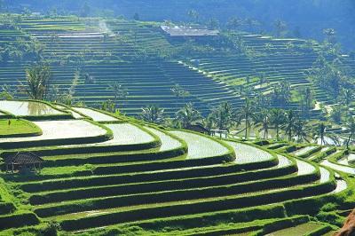 טרסות אורז - באלי   bali rice terraceטרסות אורז - באלי   bali rice terrace