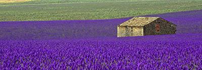 פרובנס - צרפת Fields of Lavender in Provence  צרפת