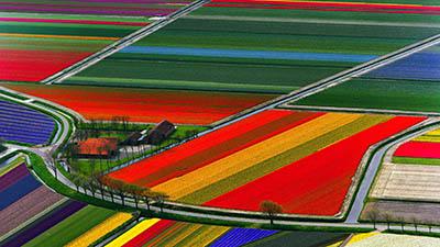 שדות פרחים - הולנדשדות פרחים - הולנד   Aerial View of Tulip Flower Fields- Amsterdam- The Netherlands
