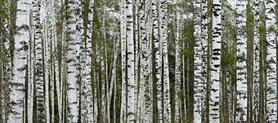 עצים עצים  Birches_near_Novosibirsk_in_Autumn