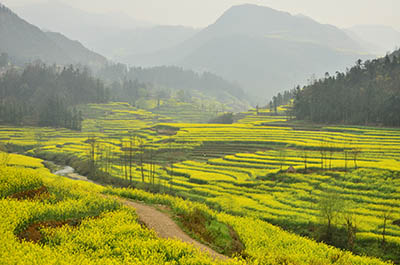 Canola field in Luoping