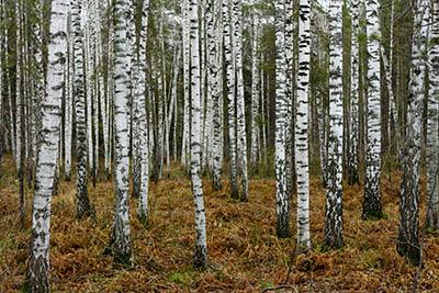 Birches near Novosibirsk in Autumn Birches near Novosibirsk in Autumn