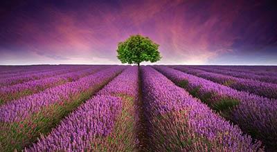 שדה לוונדר lavender fieldשדה לוונדר lavender field   תמונות של שדות צילומים