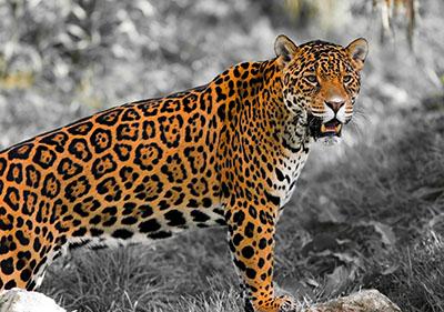 יגואר jaguar
