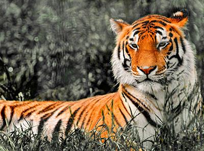 נמר_tiger