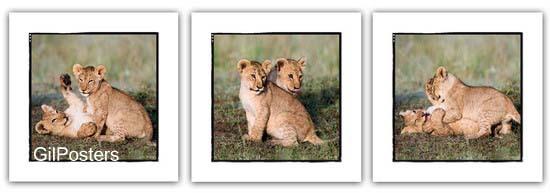 גורי אריותמשפחה טבע חיות בעלי חיים  אריה