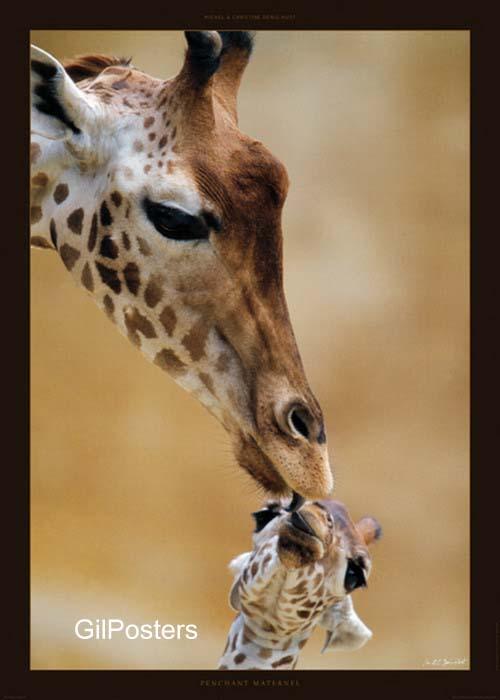 נשיקת הג'ירפותג'יראפה אמא חיות  ג'יראף  גיראף