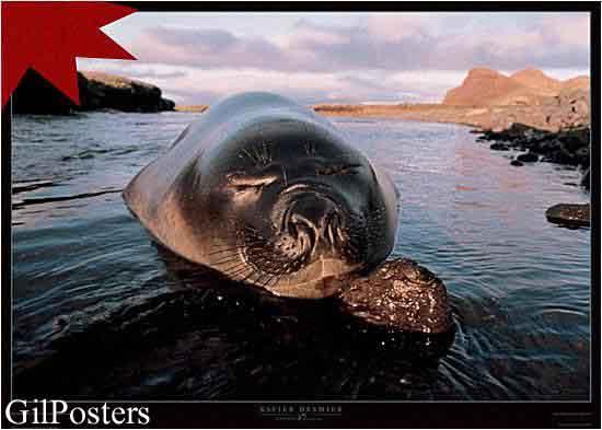 פיל ים  צעיר