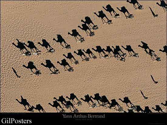 שיירת גמלים  ניגריה