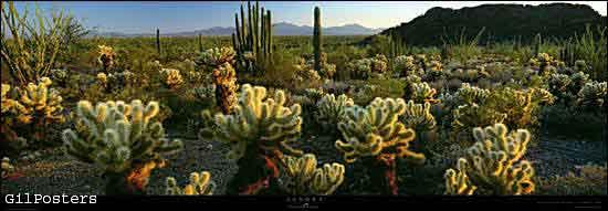 Sonora desert, Organ Pipe Cactus, NM - Arizona