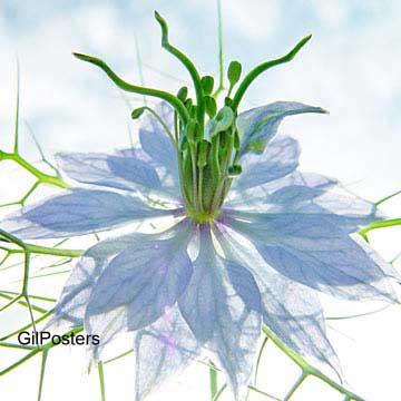 ריקוד כחלכלפרח פריחה פסטורלי נוף חם סקסי טבע כחול