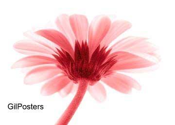 חרצית ורודהפרח פרחים רכות עדינות עיצוב פסטורלי
