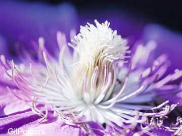 לבן וסגולפרח פרחים רכות עדינות עיצוב פסטורלי ריקוד
