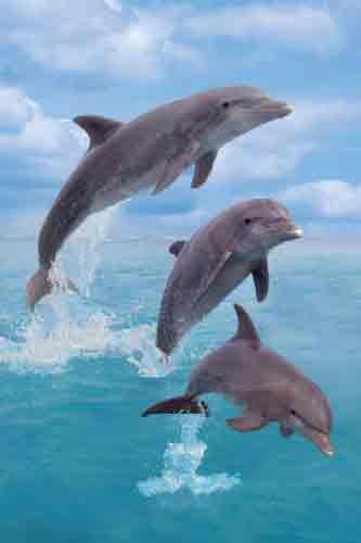 דולפיניםים חוף לבן דקלים חופים רוגע חופש סוטול כייף מנוחה Maldives Island Hammock Lake Rotoiti תאילנד הונלולו Fihalhohi Island  Divi Divi Tree Tom Makie